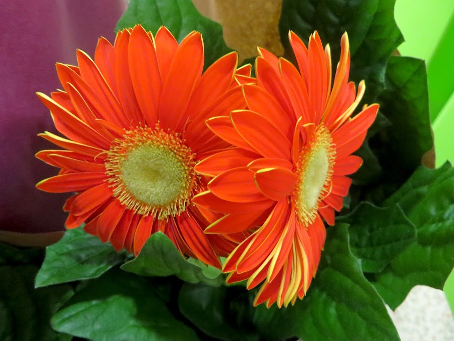by Celia Sillars - Flowers Flower Gardens ( orange, flowers )