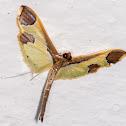 Spilomeline Moth