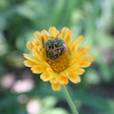 Metalic Green Bee (wasp)