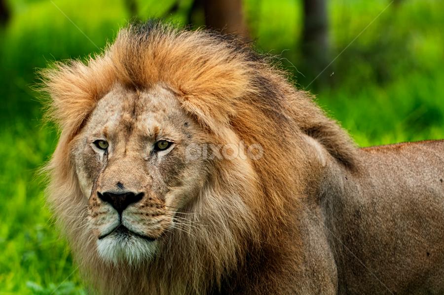 Lion King by Cristobal Garciaferro Rubio - Animals Lions, Tigers & Big Cats