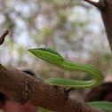 Bejuquillo verde