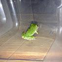 Gray tree frog (immature)