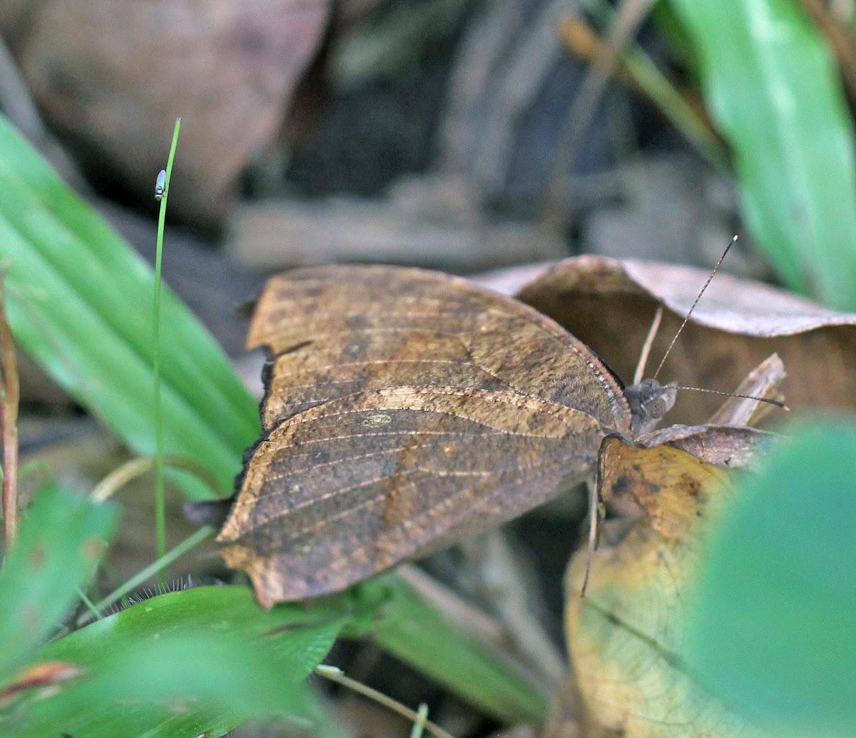 Melanitis Butterfly