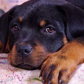 by Linda Jansen van Rensburg. - Animals - Dogs Puppies