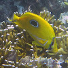 Bluelashed Butterflyfish