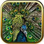 Free Peacock Puzzle Games