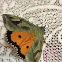 Hawk moth?