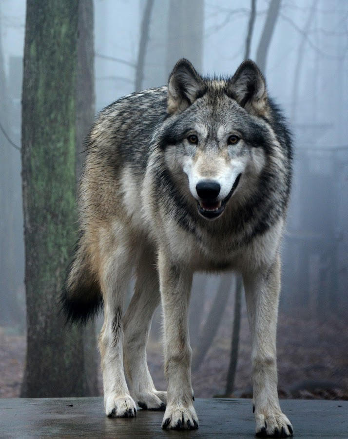 by Teresa Daines - Animals Other Mammals ( canine, nature, wolf, mist, animal,  )