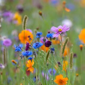 Setaside bliss by Annette Flottwell - Flowers Flowers in the Wild ( setaside, jauchere, dordogne, cornflower, cosmos,  )