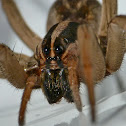 Rabid wolf spider (female)
