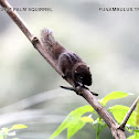 dusky striped squirrel- name in the picture is wrong