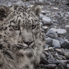 by Fateen Younis - Animals Lions, Tigers & Big Cats ( wild, pakistan, national park, hunza, khunjerab, leopard, snow leopard,  )