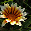 Gazania white and purple
