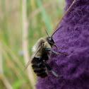 Bumblebee?