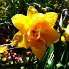 Double Flowered Daffodil: Yellow