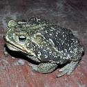 Rococo Toad