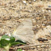 Sulphur butterfly?