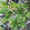 Creeping-juniper