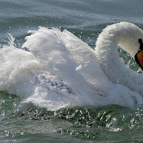 Labud, by Katica Pecigoš-Kljuković - Animals Birds ( .... najljepše zahvaljujem gosp. alesanko roddriguez.... :) ..., dragana., jarun, uir, labudovi, najljepše zahvaljujem )