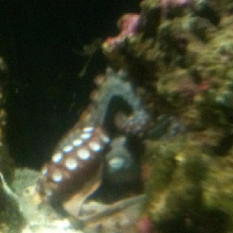 Common octopus - polpo comune