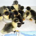 Muscovy ducklings