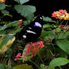 Great eggfly  (Common eggfly)