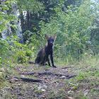 Red Fox (Melanistic)