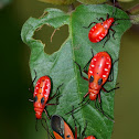 Cotton Stainers -Adult and Nymphs
