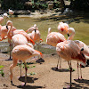 Flamingos or Flamingoes