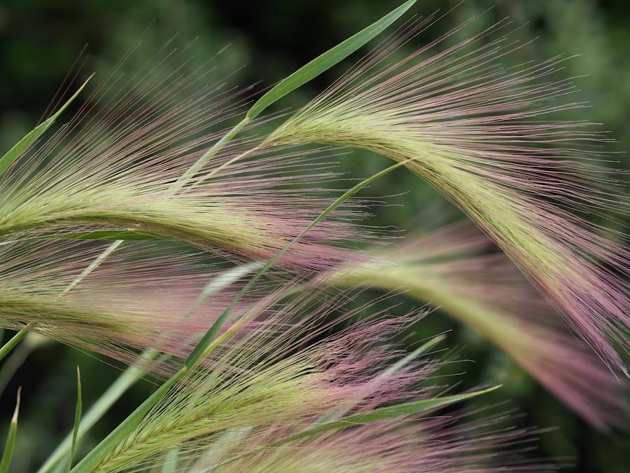 Stro by Ólafur Ingi Ólafsson - Nature Up Close Leaves & Grasses ( gras, purple, blue, grass, green, stro,  )