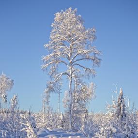 Winter forest by Elisabeth Johansson - Nature Up Close Trees & Bushes ( birch, sweden, boden, cold, snow, trees, fir, sun )