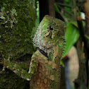 Kuhl's Angle-headed Lizard