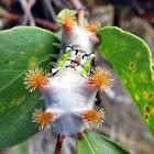 Mottled cup moth