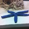 Blue Linkia Starfish