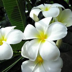 Frangipani by Jo-Ann Tan - Flowers Flowers in the Wild