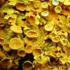 Orange wall lichen, Złotorost ścienny