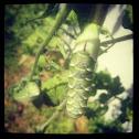 Green Horned Catterpillar