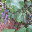 California Wild Grape