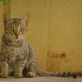 cuity, little beauty by प्रसाद जोशी - Animals - Cats Portraits ( cat, sweet, cute, posing, portrait )