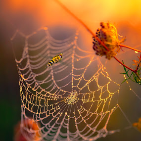 Just Passing Through by Melissa Connors - Digital Art Animals ( bee, dew, sunrise, insect, morning, spider web )