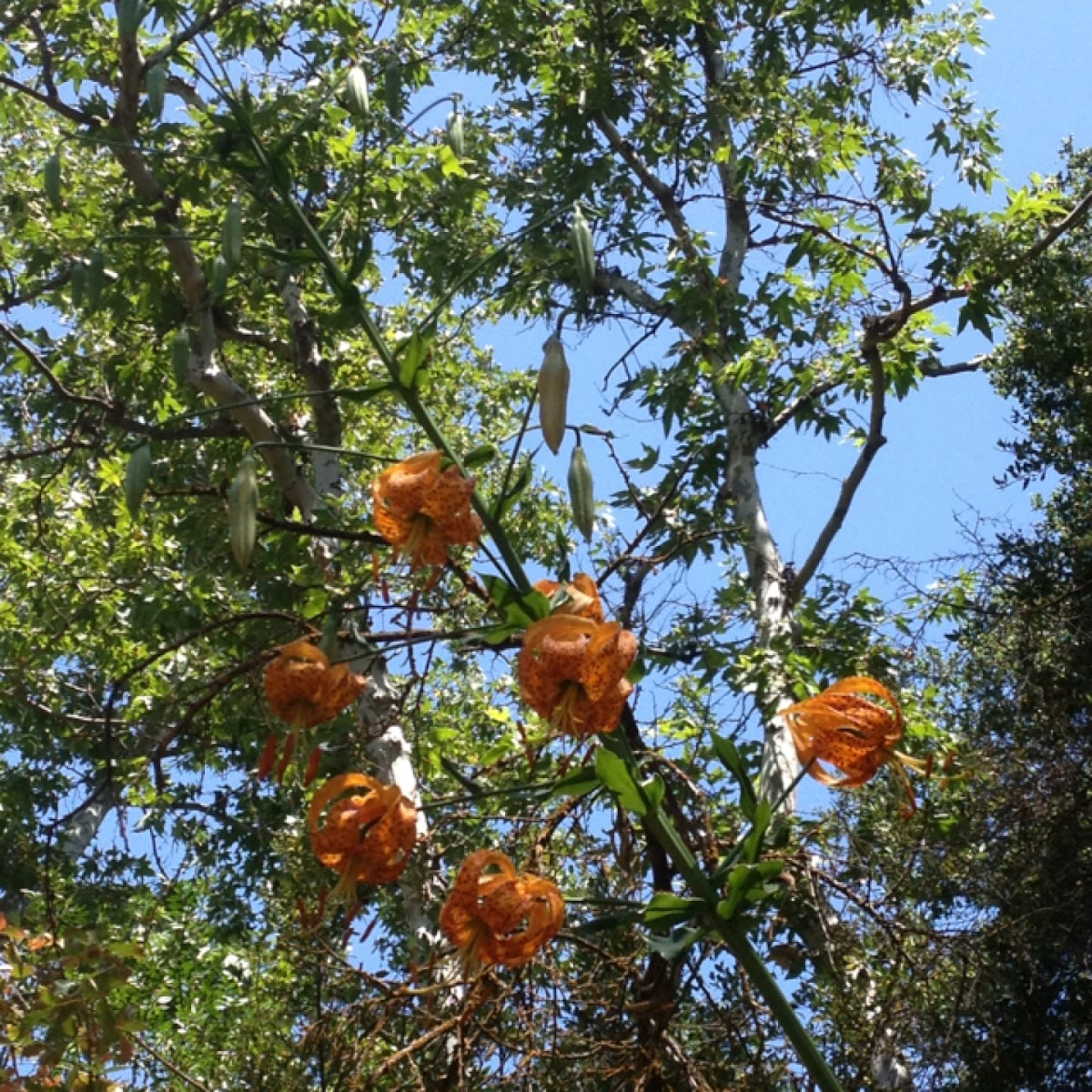 Humboldt's tiger lily