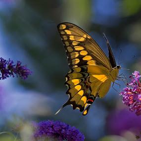 Swallowtail Heaven by David Hammond - Digital Art Animals (  )