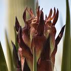 Spanish Dagger (Yucca)
