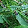 Banded Netwing Beetle