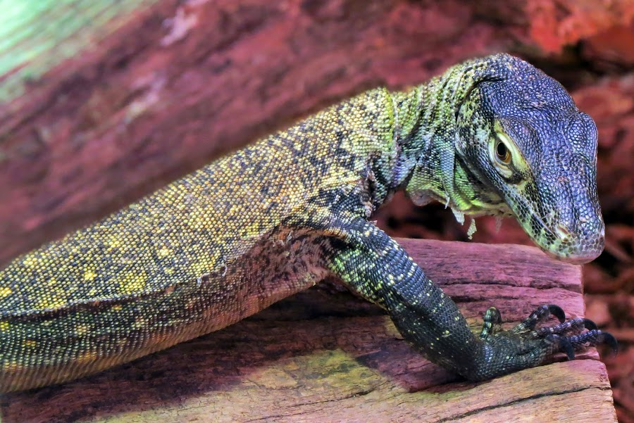 Monitor Lizard by Richard Lawes - Novices Only Wildlife