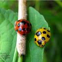 Giant Bamboo Ladybird