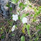 Pineland Clustervine