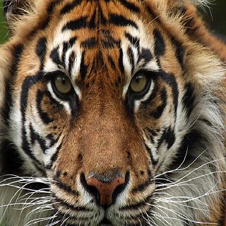 tiger wallpaper animal lwp