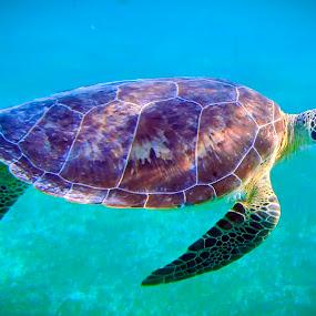 Sea Turtle by Dan Baciu - Animals Amphibians ( scuba  dive, sea turtle, underwater, fish, tortuga, turtle, ssi, mexic, snorkel, fishes, snorkeling, sea turtlea, reptile, diver, creature, mexico, padi, carribe, dive, sea, turtles, amphibians, reptiles, scuba diving, scuba, barribian, tulum, diving, , sea creatures, underwater life, ocean life )
