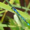 Familiar Bluet damselflies (males)